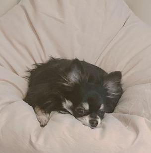 渡辺美優紀の愛犬チワワ